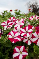 Botanical Gardens: Petunia by TheDemolitionist