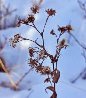 Winter Weeds by hennatea