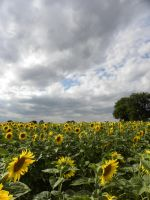 Les tournesols 3 by Flore-stock