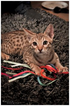 Ocicat I by Mathuis