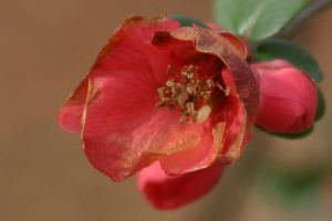 Early Quince by Deidreofthesorrows