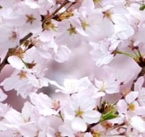 Cherry Blossoms Seamless Tile by yasashiiko