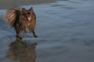 Moose at Del Mar Beach-1 by hotwiar