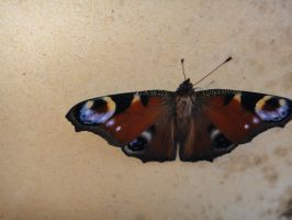 Butterfly on my balcony by Pierce20