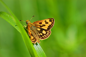 The Northern Chequered Skipper by Tapire