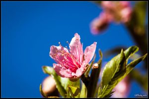 Peach Blossom by lil-Mickey