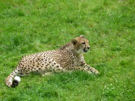 Chillin Cheetah by Ellendar