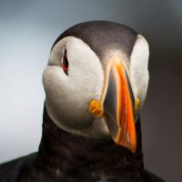 2008 Puffin by Sagereid