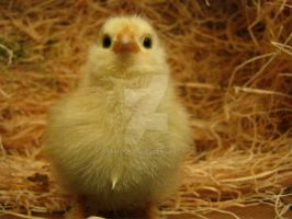 Are you my mommy? -Baby Chick by Tranzopus