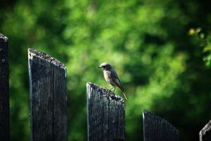 Redstart by Csipesz