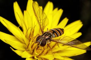 Hoverflies in December Series 1-1 by dalantech