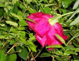 Rainy Day Rose by Tailgun2009