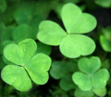 Green Wood Sorrel Leaves by Navanna