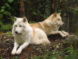 Arctic Wolves 5 by xCrystals