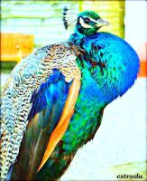 Peacock estruda by MattiaCremonini