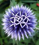 Open Globe Thistle by parallel-pam