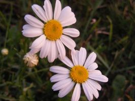 beautiful daisies 2 by BlueIvyViolet