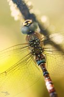 dragonfly close up by floflo