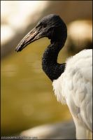 African Sacred Ibis by kimpy23