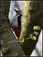 Great Spotted Woodpecker by cycoze