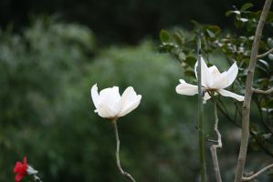 view to white magnolias by ingeline-art