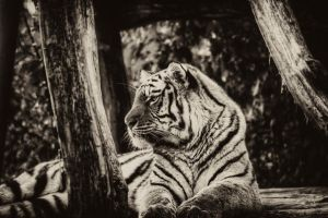 Tiger bw by mnmlicious