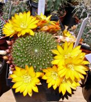 A prickly Sunflower by cactusmumkate