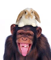 Monkey wearing a rabbit as a hat by GhostOfPardition