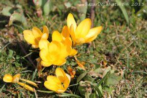 First crocus by BazarDeLaNature