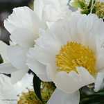 A peony blooms by Mogrianne