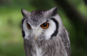 Northern White-faced Owl by hoodoo