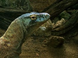 Komodo Dragon by girzer