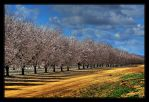 Endless Almond Trees by ernieleo