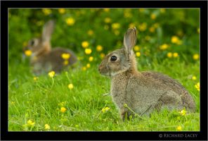 Bunnies and Buttercups by RichyX83
