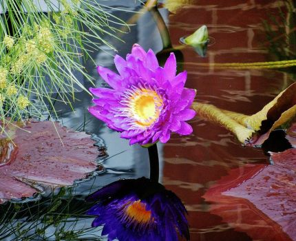 Water Lily Reflection by TheBigMC