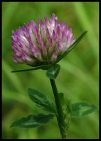 Red clover by Pildik