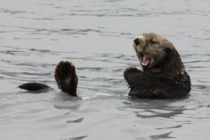 Shouting Otter by Jack-13