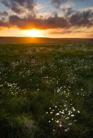 the cottongrass dance by sassaputzin