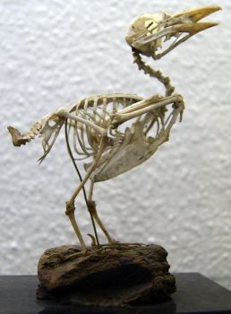 Stock : Bird Skeleton by Deaths-stock