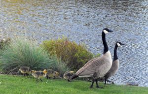 Canadian Geese III by Photos-By-Michelle