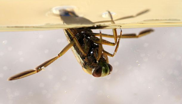 Backswimmer by marble911