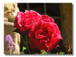 Red Rose in Speyer by WillFactorMedia