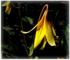 Tiny Lily Under The trees - Macro by JocelyneR