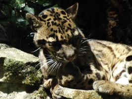 2014 - Clouded leopard 36 by Lena-Panthera