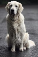 golden retriever by ValerieGautier