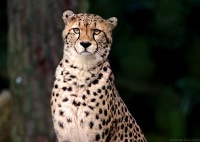 Cheetah - Eye Contact by Mick75