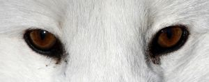 It's in the Eyes: Arctic Fox by Jack-13