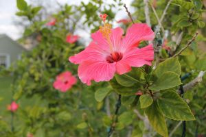 Pink Hibiscus Bush by II2DII