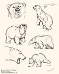 Polar Bear sketches by LCibos