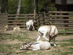 Addax at Cracow Zoological Garden by MrGorsh